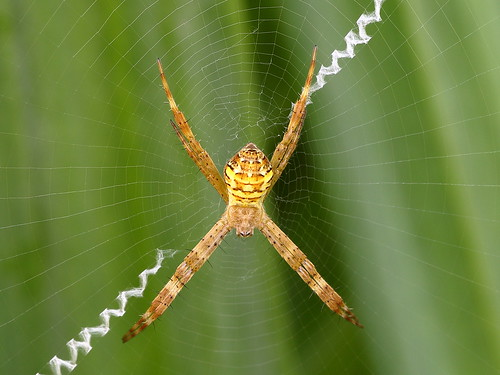St Andrews Cross (Argiope keyserlingi)