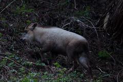 Capricornis crispus (kenta_sawada6469) Tags: mammal mammals mammalia nature wildlife japan mountain forest animal serow japaneseserow