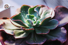 DW (傲慢與偏見) Tags: succulent sony sigma