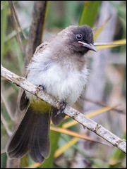 Dark-capped Bulbul (John R Chandler) Tags: animal bird bulbul darkcappedbulbul matabelelandnorthprovince pycnonotustricolor victoriafalls zimbabwe zw