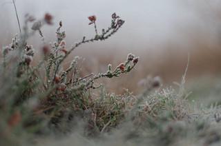 Frozen heather