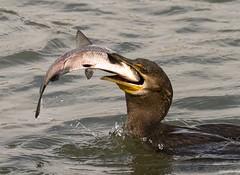 I'm Not Sharing (swmartz) Tags: nikon nature maryland outdoors wildlife waterfowl comorant conowingo 2017
