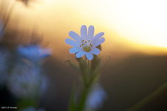 Stellaire au couchant (jpto_55) Tags: fleur soir stellaire stellaireholostée macro bokeh xe1 fuji fujifilm omlens om135mmf28 hautegaronne france