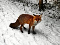 Rotfuchs (almresi1) Tags: fox fuchs tier animal wild schnee snow wald forest wood way weg schwäbischealb böhmenkirch germany winter