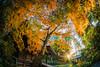 One Autumn Morning (aotaro) Tags: autumnleafcolors autumn kanagawa autumncolors autumnleaves ozenjitemple autumnmorning kawasaki japan ozenji
