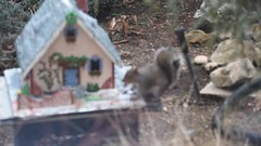 Christmas gift for my garden friends! (ineedathis, Everyday I get up, it's a great day!) Tags: storybookhome video squirrel eating animal snowman frontgate frontentrance atticeyewindow logs 2016gingerbreadhouse steppingstones stonefence christmas nikond750 fence window decor slate lightposts heart ivyclimber eave roof royalicing bricks gingerbreadhouse snow flowers miniature sugarwork gum paste modeling baking ivy glitter fairytalecottage