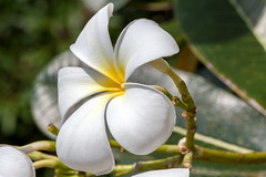 Soft Flower - _TNY_1322 (Calle Söderberg) Tags: macro canon canon5dmkii canonef100mmf28usmmacro canoneos5dmarkii flower plumeria frangipani white thailand krabi aonang f11