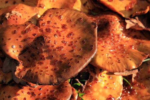 """Hallimasche (Armillaria) (09) • <a style=""""font-size:0.8em;"""" href=""""http://www.flickr.com/photos/69570948@N04/38111552336/"""" target=""""_blank"""">View on Flickr</a>"""