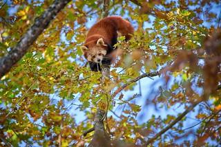 panda d'automne