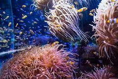 Clownfish (PatrickHansy) Tags: oceanographic museum monaco ozeanographisches museet fish fisch tier animal sea meer mare clownfish klaunfisch hai shark unterwasser under water world aquarium