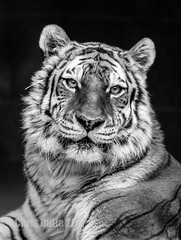 DSC06542 (montusurf) Tags: black white bw tiger cat predator feline stripes henry doorly zoo omaha nebraska portrait