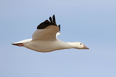 Snow Goose (Alan Gutsell) Tags: birds bird new mexico wildlife nature photo alan snow goose snowgoose flying flight wh bosque del apache nwr bosquedelapachenwr nationalpark