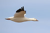 Snow Goose (Alan Gutsell) Tags: birds bird new mexico wildlife nature photo alan snow goose snowgoose flying flight wh bosque del apache nwr bosquedelapachenwr nationalpark