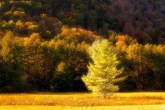 Golden Glow (Simmie | Reagor - Simmulated.com) Tags: 2017 autumn connecticut connecticutphotographer fall fallcolor landscape landscapephotography nature naturephotography newengland october outdoors unitedstates woods ctvisit digital https500pxcomsreagor httpswwwinstagramcomsimmulated wwwsimmulatedcom cornwall us