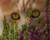 What it looks like when NOBODY is in the heather .... (FocusPocus Photography) Tags: linus katze kater cat chat gato tier animal haustier pet heide heather