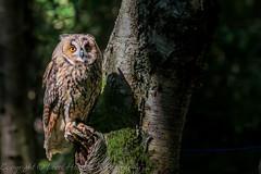 Long Eared Owl in the sun - (Asio otus) best viewed large (hunt.keith27) Tags: asiootus longearedowl tree perch sun owl feathers nature canon talons hunter