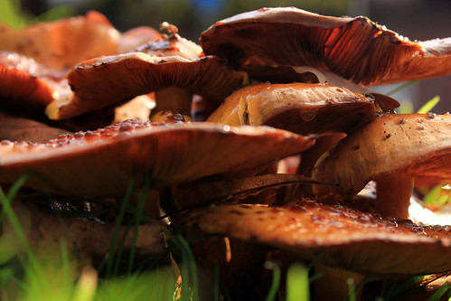 """Hallimasche (Armillaria) (12) • <a style=""""font-size:0.8em;"""" href=""""http://www.flickr.com/photos/69570948@N04/38167400741/"""" target=""""_blank"""">View on Flickr</a>"""