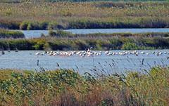 concentración de aves. (Luis Mª) Tags: tarragona deltadelebro flamencos