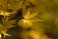 November gold (Irina1010) Tags: leaf mapleleaf gold yellow bokeh macro autumn november gibbsgardens nature beautiful canon ngc coth5 npc