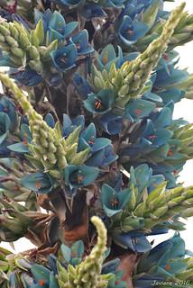 Chagual (Puya berteroniana)