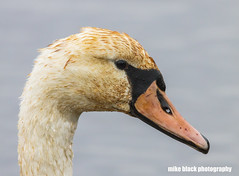 Mute Swan 100% crop Canon 5DS + Canon 600mm see full size! (Mike Black photography) Tags: mute swan bird nature 4k hidef 8k canon 5ds 600mm lens usm is ls shark river nj new jersey usa shore