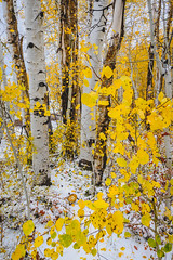 Aspens and snow (bumeister1) Tags: lasalloop lasalmountains utahtrip2017 warnerlake aspens utah nikon landscape fall autumn