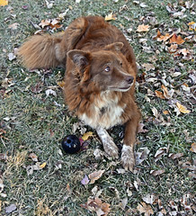 What's Your Next Move Dad? (One Day Of Sun -- It's So Lovely!!!) Tags: ddc 2199 chaos confused staring ball playing inthebackyard shizandra bordercolliemix