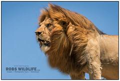 African Lion 021616-3641-W.jpg (RobsWildlife.com © TheVestGuy.com) Tags: fineart robswildlifecom wildlifetours robswildlife canon lion ©robswildlifecom 8016989080 professional africa iphone animalprints serengeti animalart robdaugherty africansafari africanlion kingofbeasts wildlifeprints africantours wild nature outdoors epicwildlifeadventures wildlifephotographer photography serengetinationalpark wildanimals wildlifeart thevestguycom 2016 021616 malelion