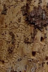 Gars, Thunau (Harald Reichmann) Tags: niederösterreich gars thunau schanzberg holz baumstamm insekt käfer gang bild muster code specht rinde borkenkäfer