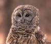 Barred Owl (Tami Hrycak ッ) Tags: barredowl raptor tamihrycak naturesgiftscaptured closeup headshot wildnewjersey nikond4s creative photoshop njnature feathers predator specanimal