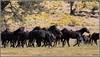 On the Move 3253 (maguire33@verizon.net) Tags: california oakcreekcanyon oakcreekhorse oakcreekwildhorse rabbitbrush tehachapimountainhorse feralhorse feralhorses herd horse stallion wildhorse wildhorses tehachapi unitedstates us