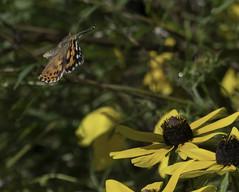 MonarchButterfly_SAF2180 (sara97) Tags: danausplexippus butterfly copyright©2017saraannefinke endangered insect missouri monarch monarchbutterfly photobysaraannefinke pollinator saintlouis flight inflight flying