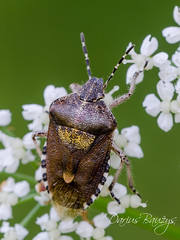 Florist (Darius Baužys) Tags: dolycoris pentatomidae animal baccarum bug close detail field flower hairy insect macro nature outdoor shield shieldbug sloe white wild blakė uoginė skydblakė