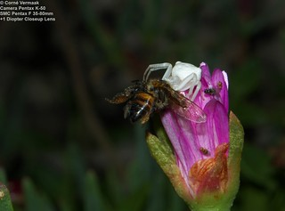 2017-11-13 Flower Crab Spider with Honey Bee 7329_1