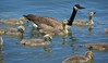 Gather Around Children (swong95765) Tags: river water float swim young geese canadagoose parenting goslings teaching chicks waterfowl bird