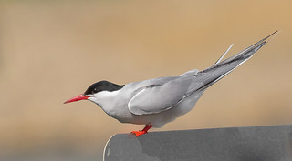 Arctic Tern (Sterna paradisaea) on street sign - Nome, AK