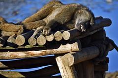 Pavian (Michael Döring) Tags: gelsenkirchen bismarck zoomerlebnsiwelt zoo goldeneroktober pavian afs200500mm56e d7200 michaeladöring