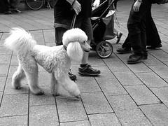 Pudel (ingrid eulenfan) Tags: wavegotiktreffen 2017 leipzig le wgt wgt2017 gothicfestival gothic gotik gotic gotica gotiche gotisches szene goths sonyilca77m2 zentrum hund pudel tier dog