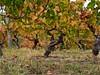 Vineyards of The Langhe (Professor Bop) Tags: langhe piemonte italy olympusem1 vineyards grapes foliage harvest nebbiolo professorbop drjazz nature