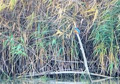 Martin pêcheur 02 (jean-daniel david) Tags: oiseau nature réservenaturelle eau roseau bleu lac lacdeneuchâtel martinpêcheur branche verdure