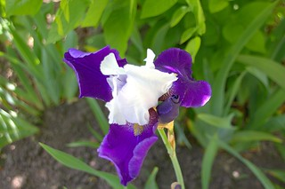 Stratford Ontario ~ Canada - Iris Flower - Shakespearean  Garden Botanical  ~ Heritage