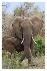 2016 10 14_Elephant suckling-1 (Jonnersace) Tags: africa africanmammals elephant krugernationalpark wildwingssafaris loxodontaafricana afrikaolifant canon7dii canon100400ii mother calf suckling
