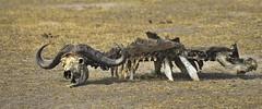 _DSC4939. Denne bøffelen har gitt mat til mange. Nsefu sector. (Berit Christophersen) Tags: bøffel africanbuffalo skjelett skeleton nsefusector southluangwanationalpark safari africa afrika zambia wildlife leftovers