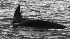 Orca (gibbsbrian) Tags: orca killerwhale mosslanding california montereybay whale