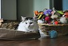 Nap In Toyland (~ Liberty Images) Tags: pet critter cat feline kitty libertyimages katie calico