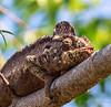 Give me a kiss... Malagasy giant chameleon or Oustalets's chameleon (Furcifer oustaleti ) (Peter du Preez) Tags: fianarantsoaprovince madagascar malagasy giant chameleon oustaletss furcifer oustaleti
