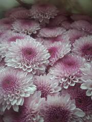 Nuance (Aellevì) Tags: sfumature rosa crisantemi petali fiori