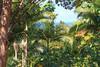 Rainforest near Umauma Falls (Mike Sirotin) Tags: jungle palms dense plants nature hawaii trees blue umaumafallsandziplineexperience leaves vegetation rainforest green pacificocean lush tropical landscape