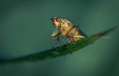 Sittin' here resting my bones (Ingeborg Ruyken) Tags: dropbox spring sunrise dawn fly flickr ochtend 500pxs 2017 macro zonsopkomst morning lente natuurfotografie strontvlieg vlieg empel yellowdungfly