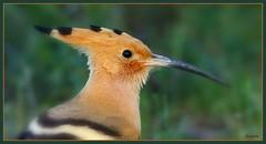 Charmante huppe fasciée ! (Armelle85) Tags: extérieur nature oiseau macro huppe fasciée animal